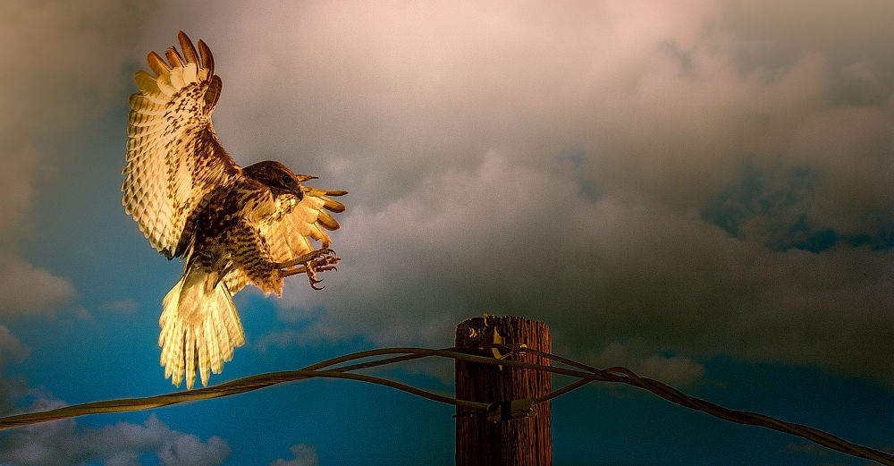 Red-tailed hawk by dnphotographyspasovici
