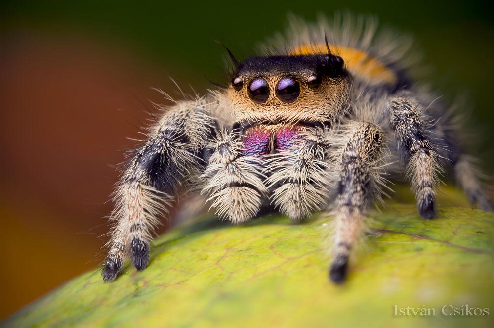 Phidippus regius female by eddiedean