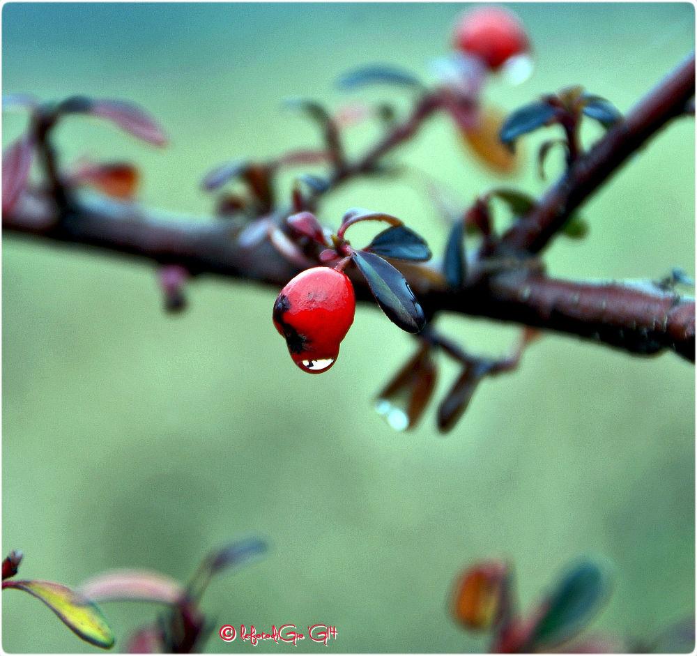 cotoneaster 1052 by giorgiopassoni1