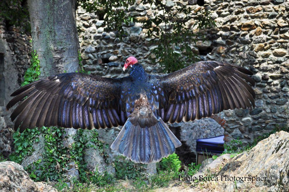 Avvoltoio by paoloborea