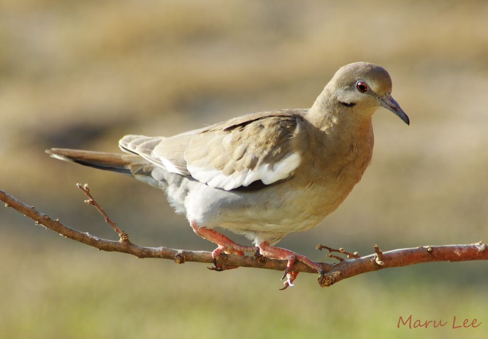 White-winged Dove by marulee2