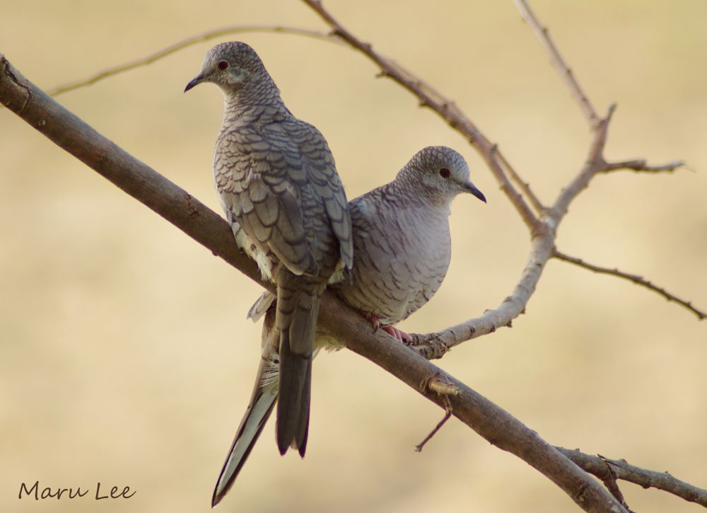 Couple Inca Doves by marulee2