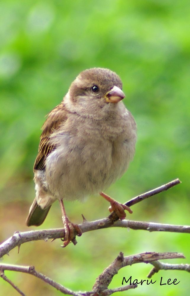 Juvenile Sparrow by marulee2
