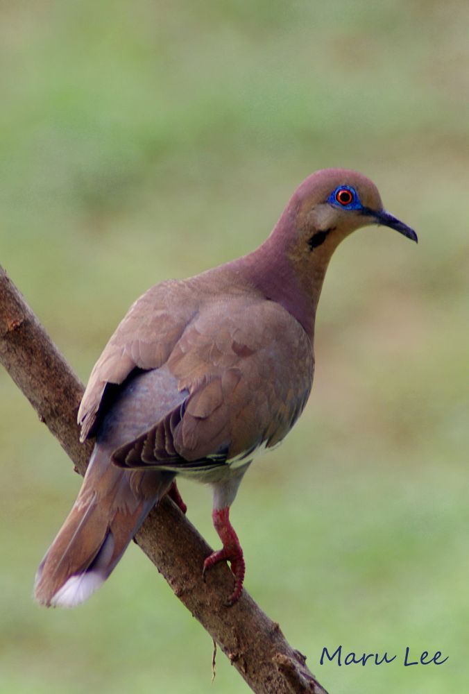White-winged Dove 1 by marulee2