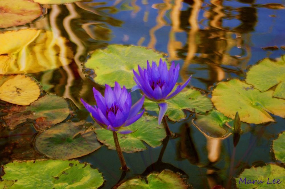 Water Lilies by marulee2