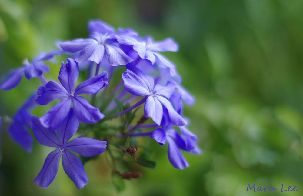Blue Flowers by marulee2