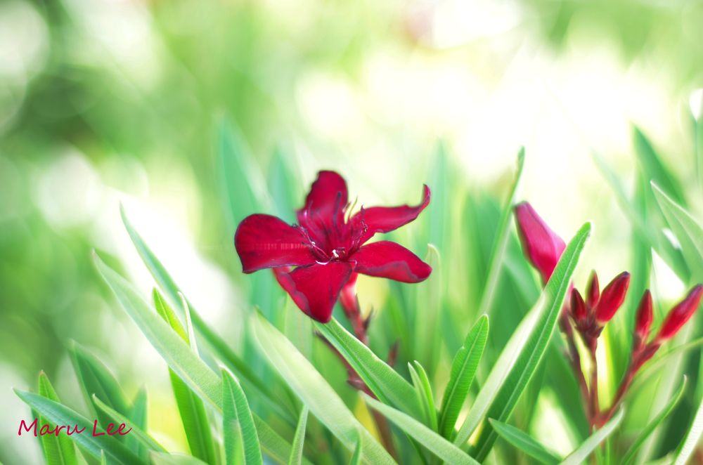 Red Flower by marulee2