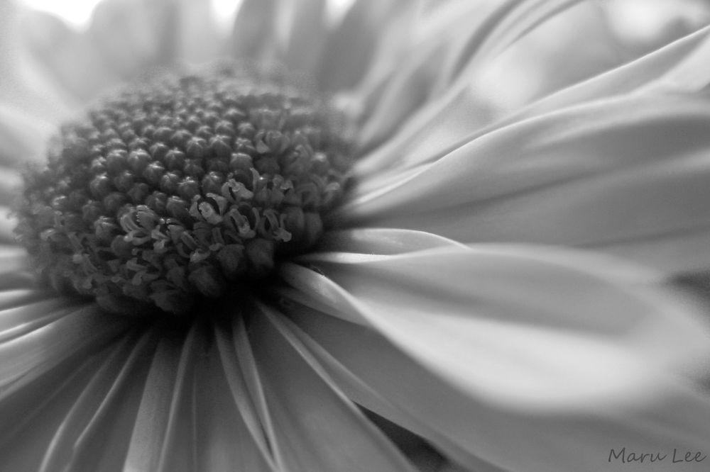 B&B Daisy by marulee2