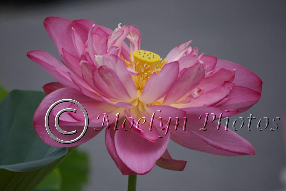 Dark Pink Lotus by Moelynphotos