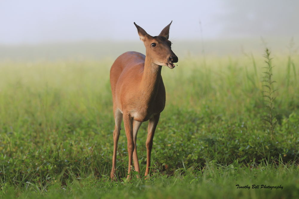 Doe by timothybell1800