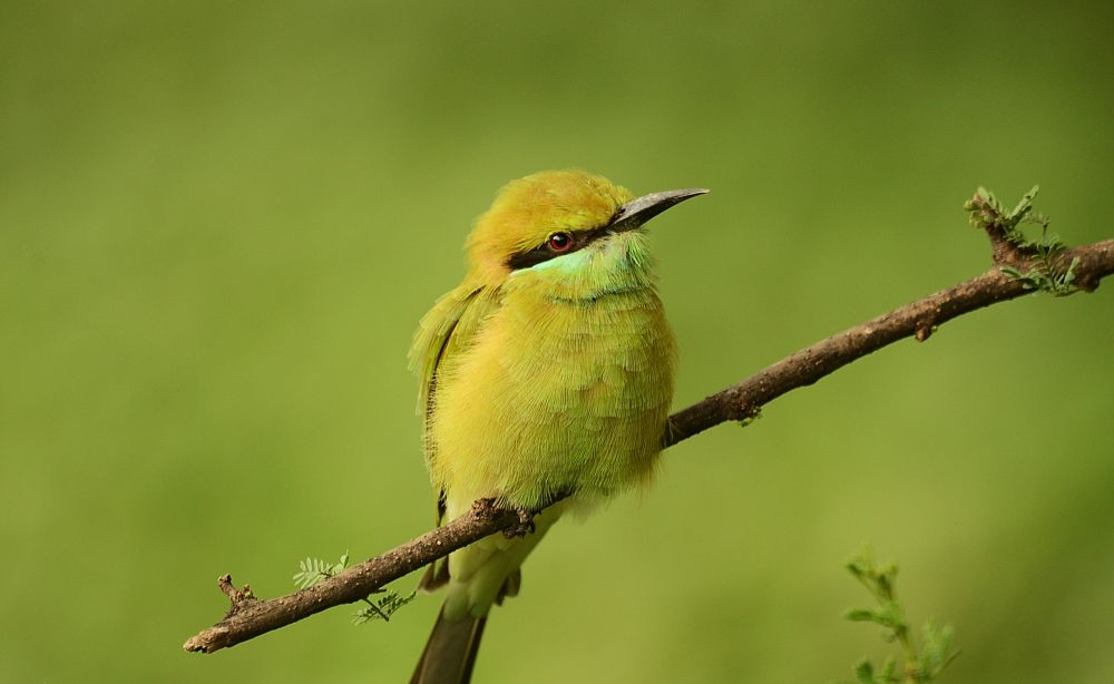 green bee-eater by siddharthseksaria