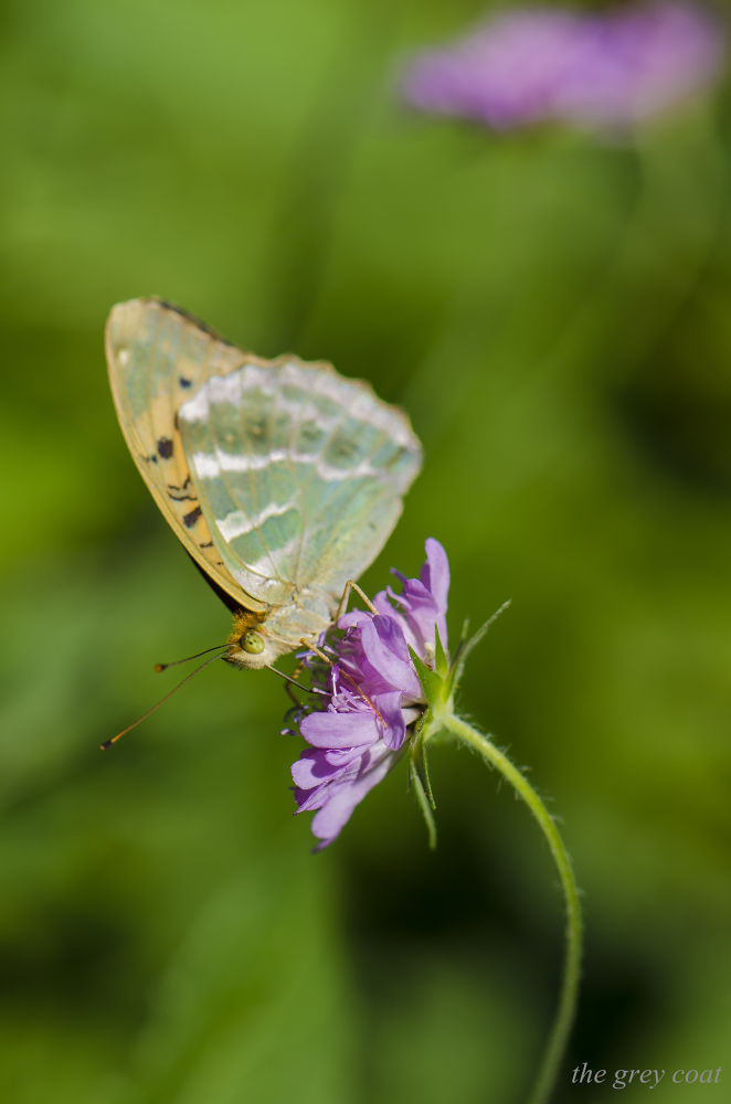 fatty butterfly by shroedinger