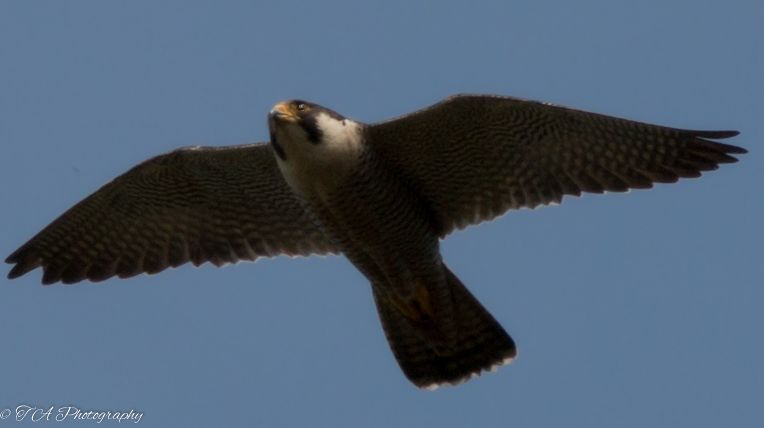 Peregrine Falcon by Terry Adams