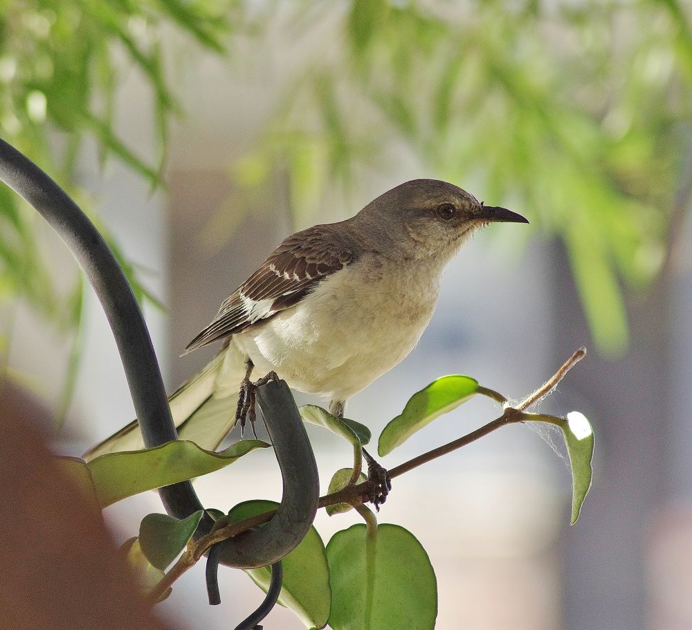 Just a Mockingbird by David Amaral