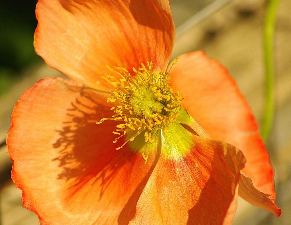 The Orange Flower by David Amaral