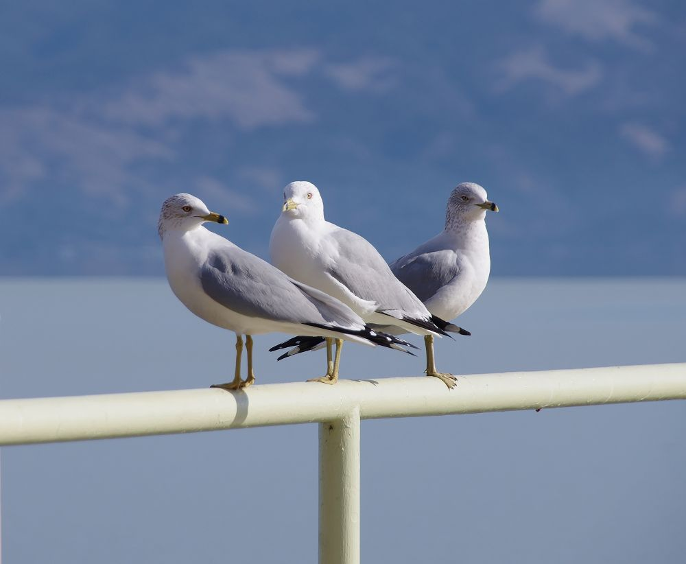 Gulls at Clear Lake - Larry, Mo and Curly PNTX4298 by David Amaral
