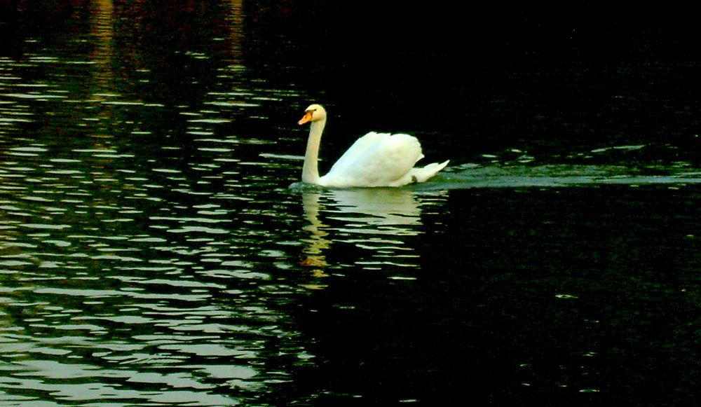 Duck tale by ujjayinip