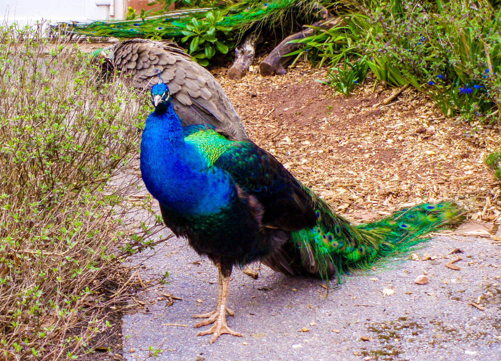 Photo in Animal #peacock #zoo #paw
