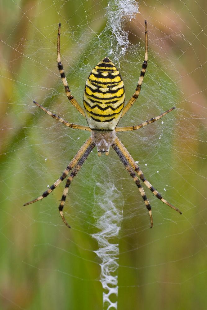Waspspider by Juergen Mayer