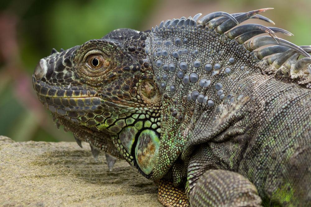 Green Iguana by Juergen Mayer