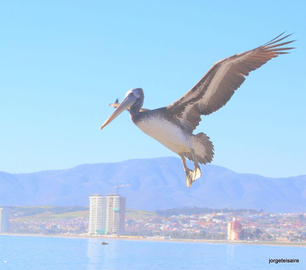07-IMG_0719Pelican Playa Serena Chile by jorgeteisaire