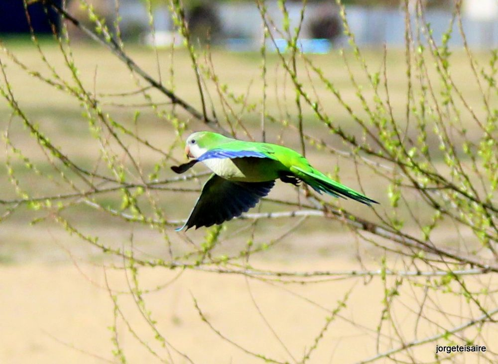 25-IMG_3070Monk Parakeet , S 28 cm Noisy vocalaizes all the time. by jorgeteisaire