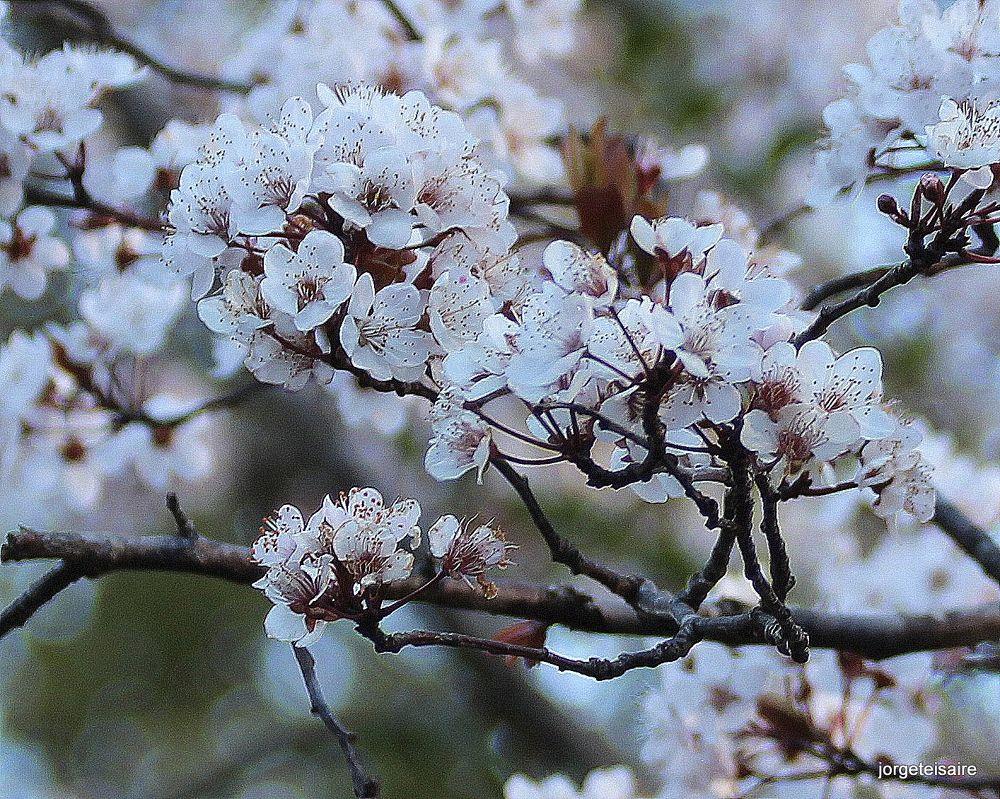 31-IMG_3133Plum tree by jorgeteisaire