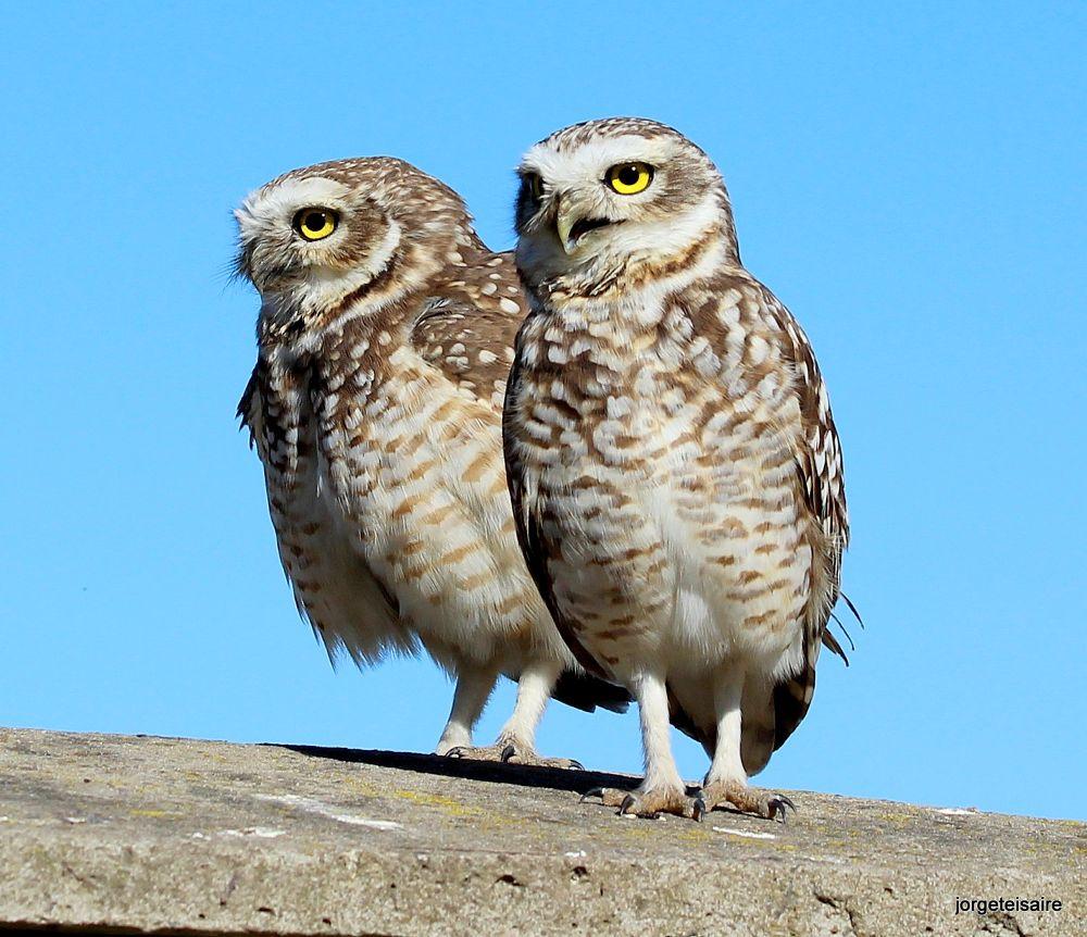 06-IMG_2831Burrowing Owl by jorgeteisaire