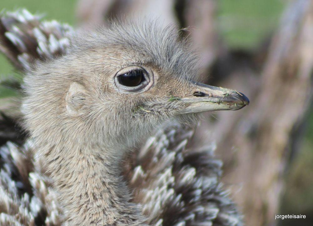 Ostrich  by jorgeteisaire