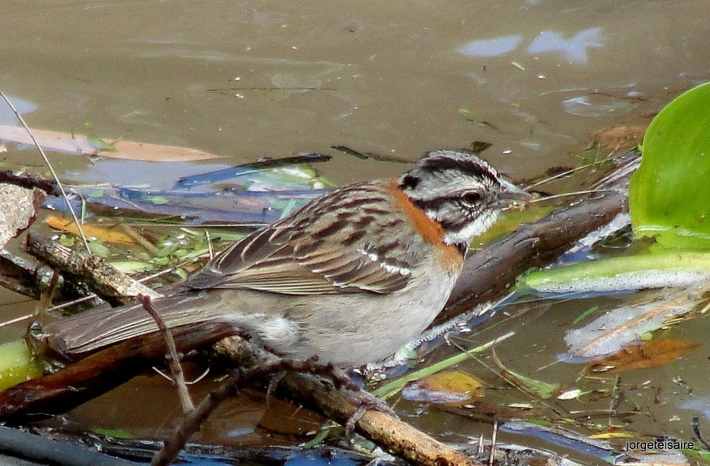Chingolo/Rufous collared Sparrow by jorgeteisaire