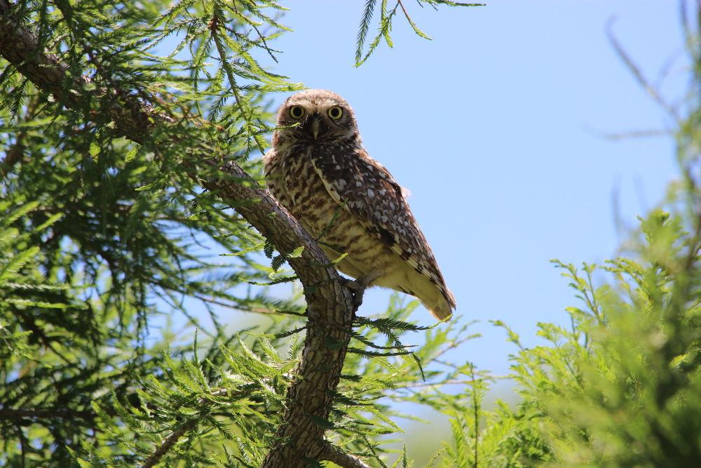 Burrowing Owl by jorgeteisaire