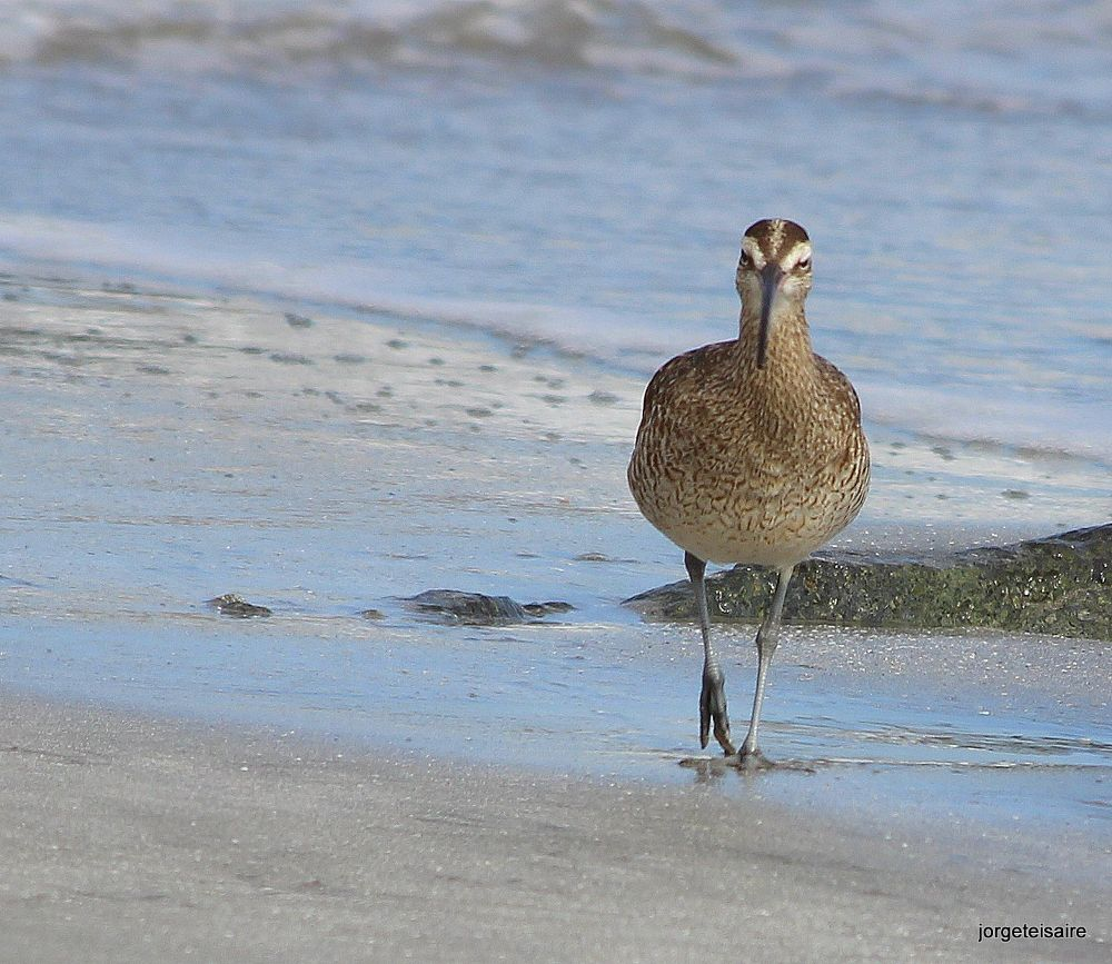 Whimbrel / Macarico galego by jorgeteisaire