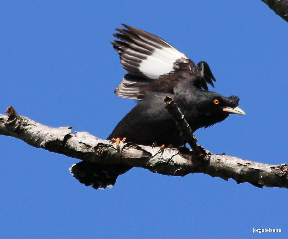 Estornino crestado / Starling by jorgeteisaire