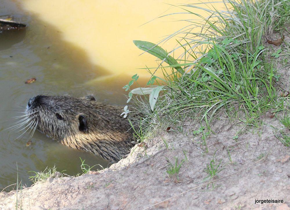 Myocastor coypus in the Escondido River by jorgeteisaire