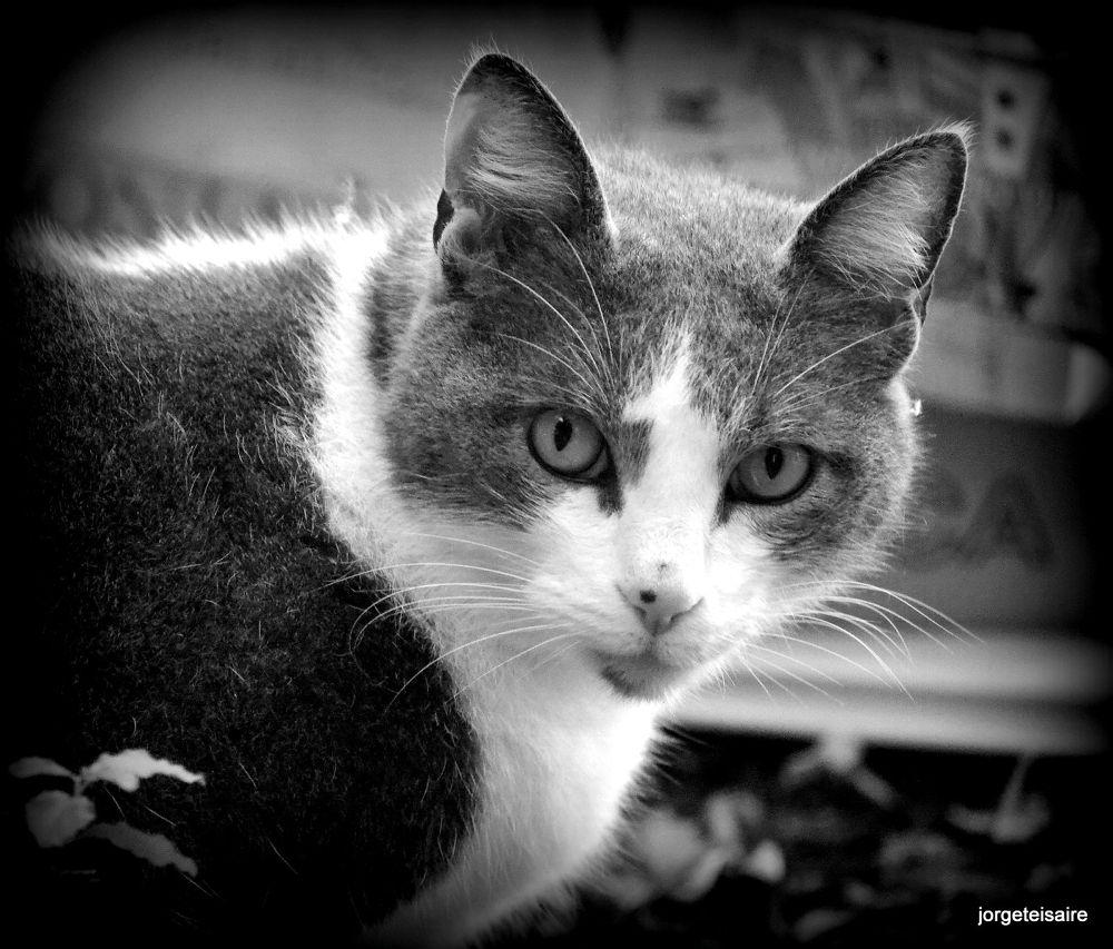 Manchi my cat by jorgeteisaire