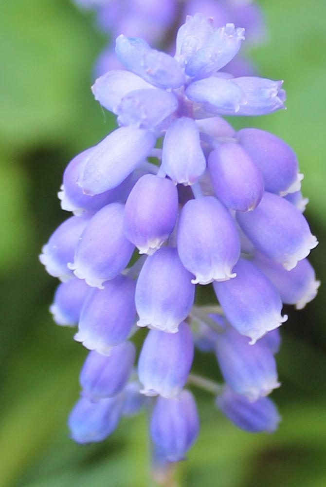 Grape hyacinth by henkspijkerman
