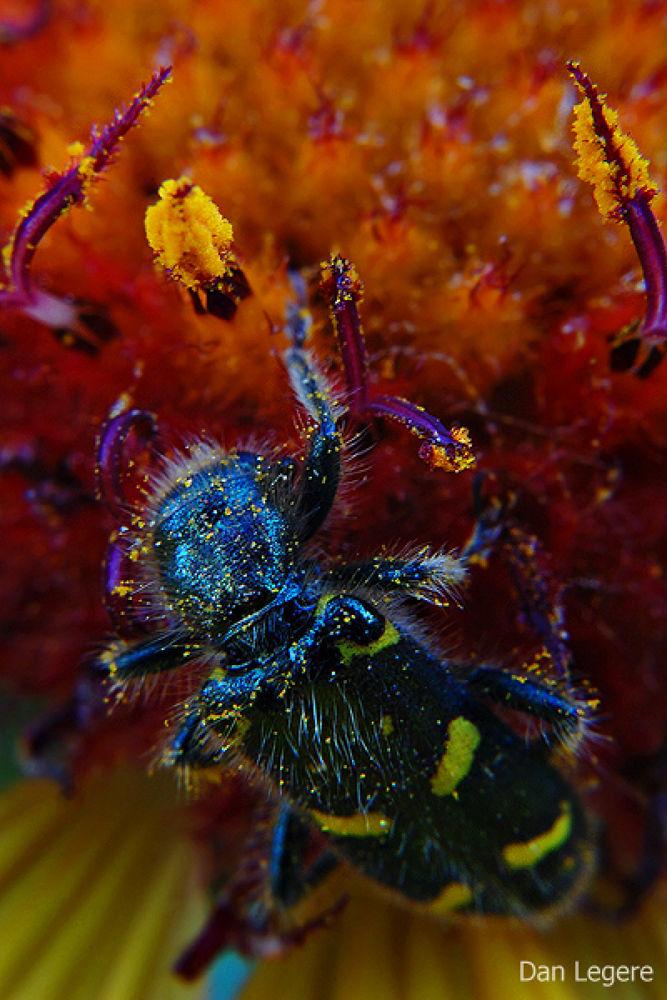 Flower Beetle by DanLegere