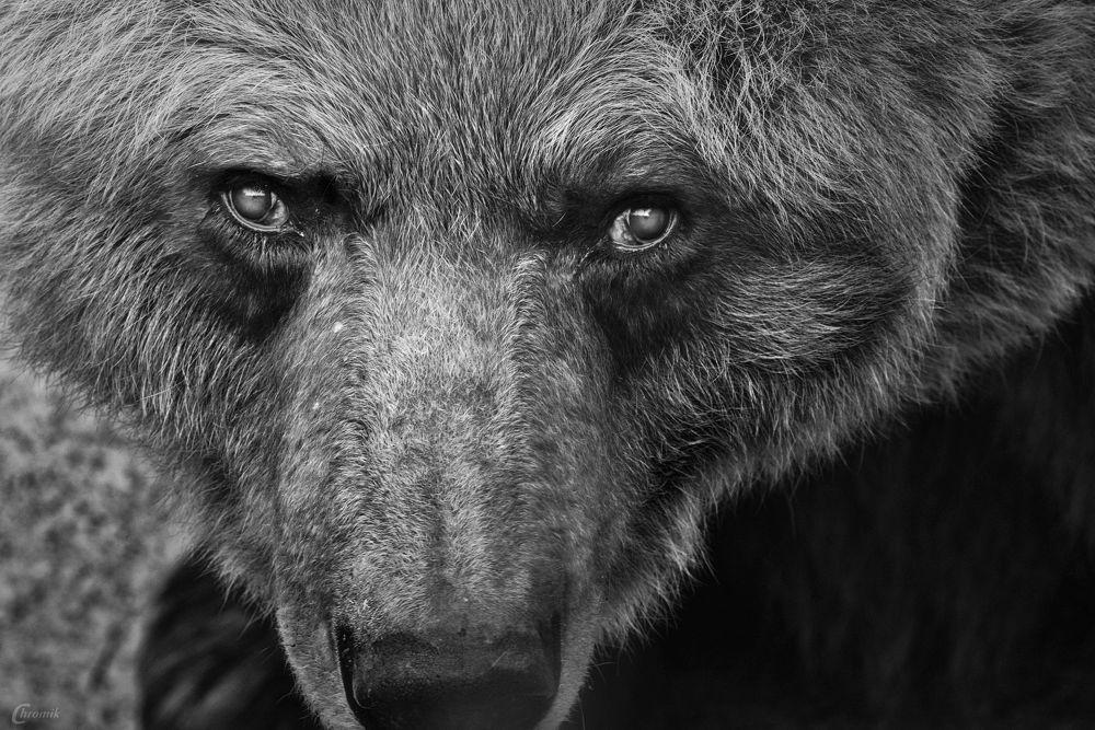 """Eyes of a Bear"" by shadow"