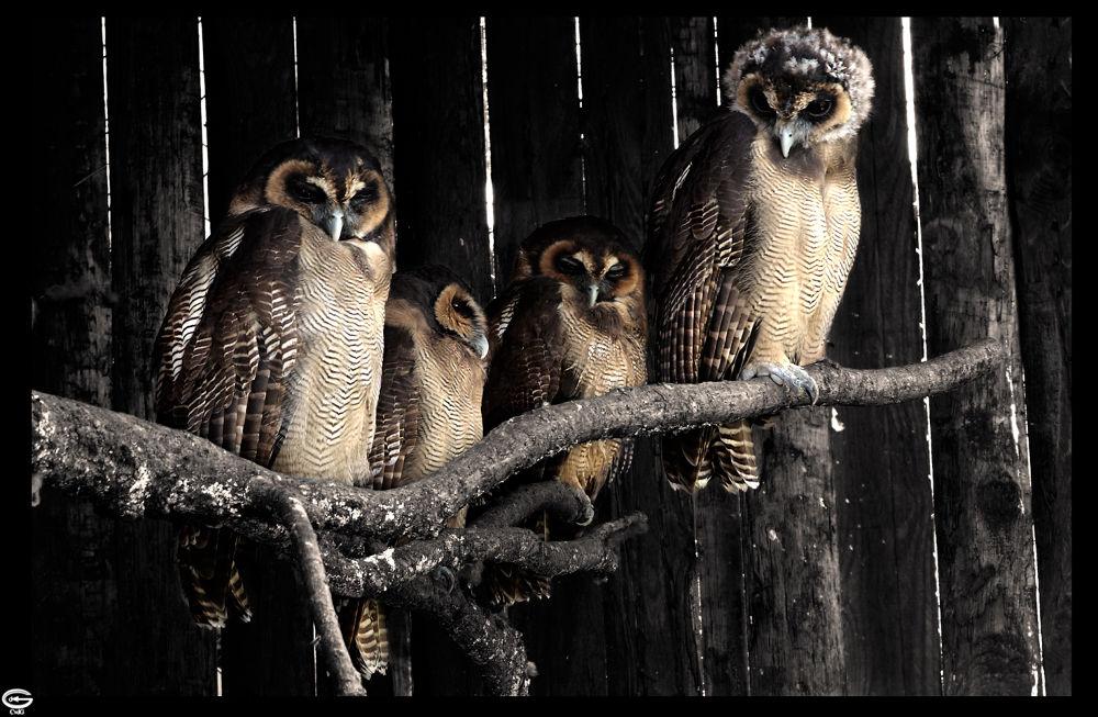 owl family by strangecave