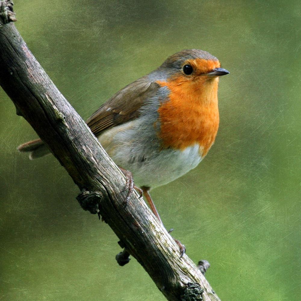 Robin by clinthudson