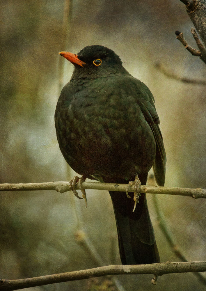 Blackbird singing in the dead of night by clinthudson