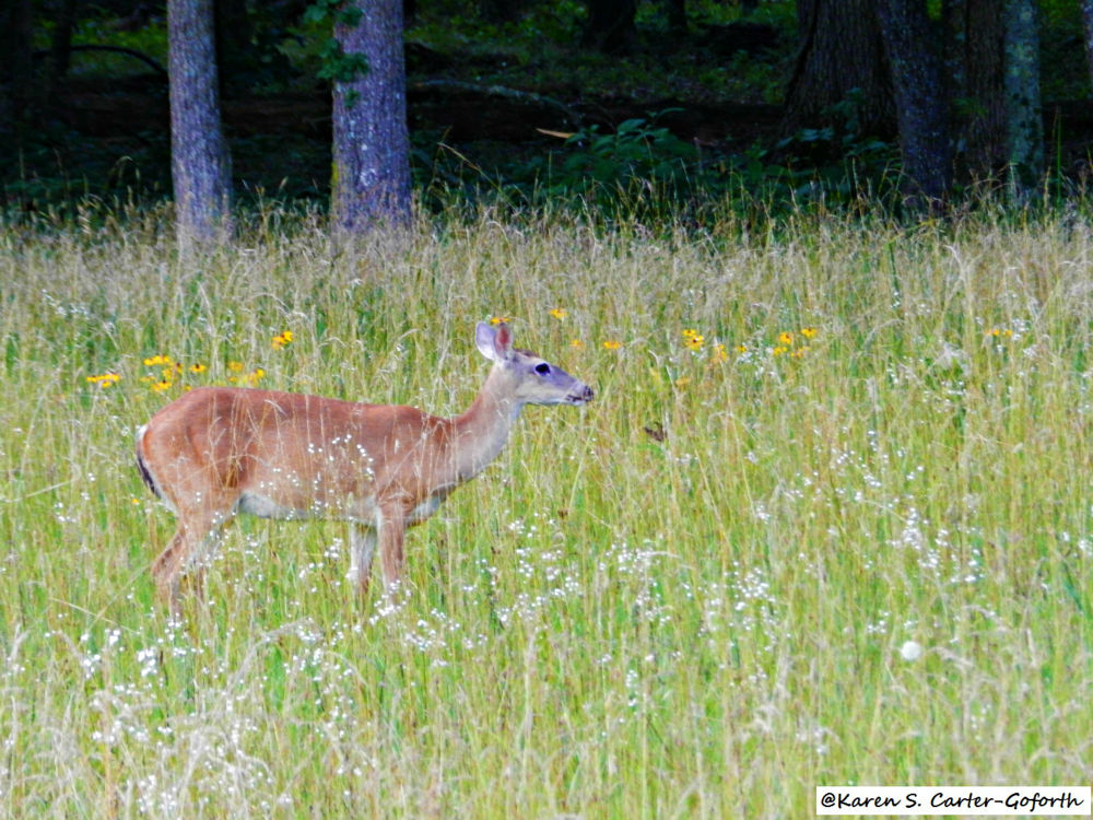 Whitetailed Deer  by Karen Carter-Goforth