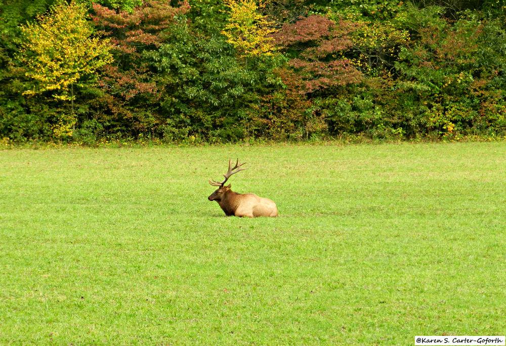 Elk by Karen Carter-Goforth
