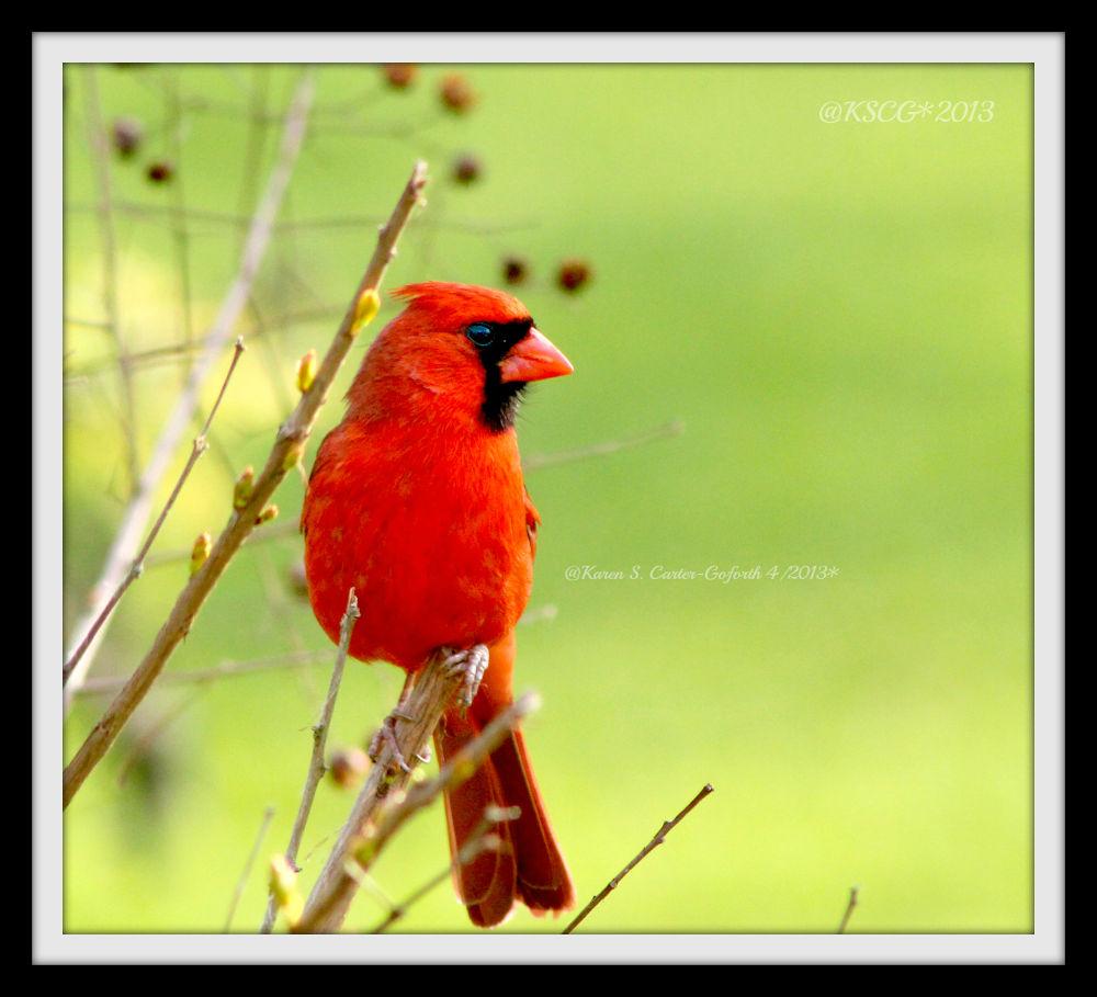 Male Cardinal by Karen Carter-Goforth
