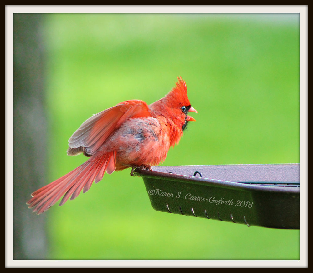 Male Cardinal Standing His Ground by Karen Carter-Goforth