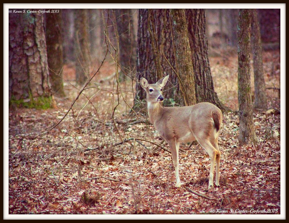 Whitetailed Deer (2) by Karen Carter-Goforth