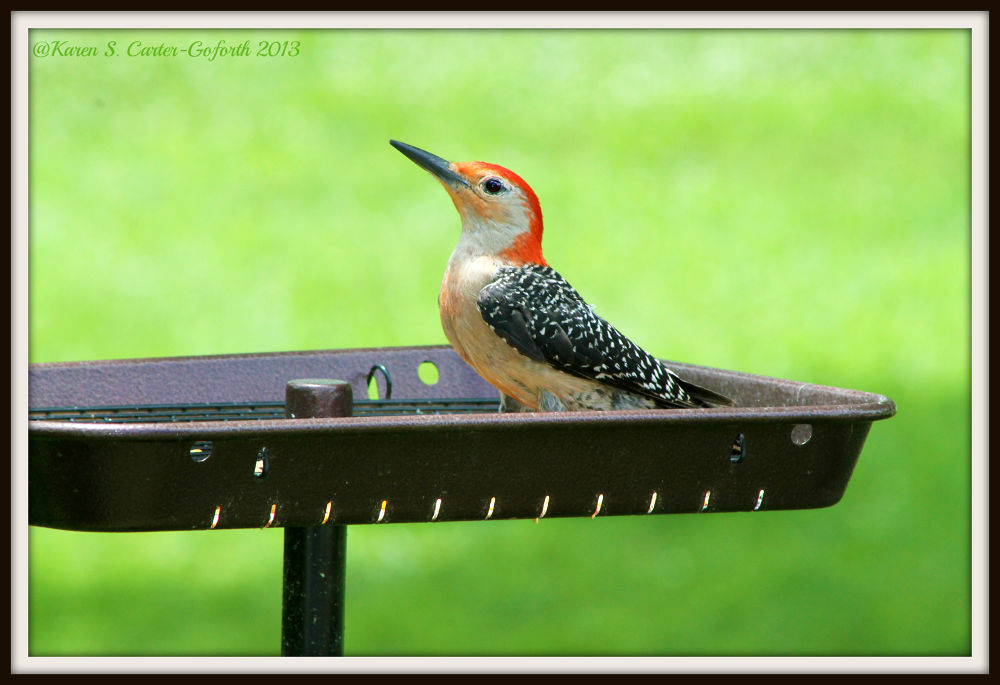 Red-bellied Woodpecker Strikes A Pose (2) by Karen Carter-Goforth