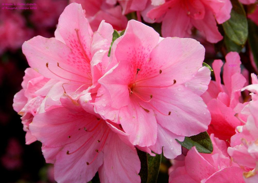 Pink Azalea by Karen Carter-Goforth