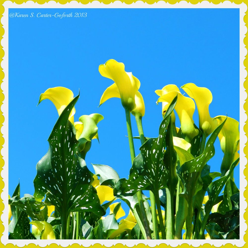 Yellow Flowers by Karen Carter-Goforth