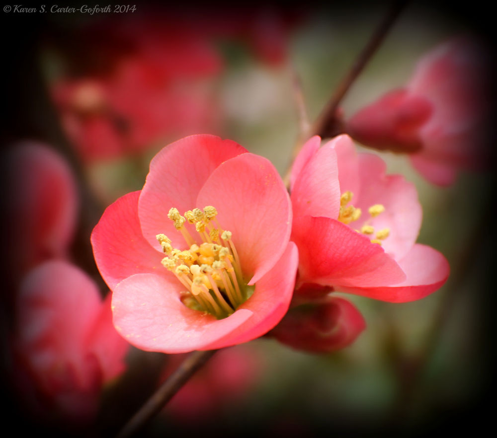 Pink Flower - Flowering Quince by Karen Carter-Goforth